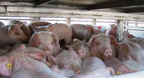 Chauffeur laat vrachtwagen met 177 varkens in volle zon staan en gaat hapje eten