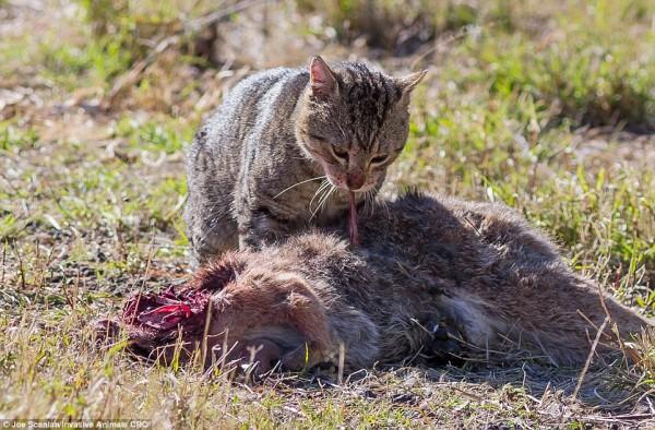 Australië brandmerkt 2 miljoen katten als vogelvrij