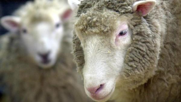 Europa wil klonen dieren verbieden voor voedselproductie