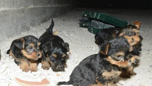 Politie en NVWA nemen achttien puppies in beslag
