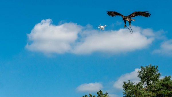 Politie traint roofvogels om drones te onderscheppen