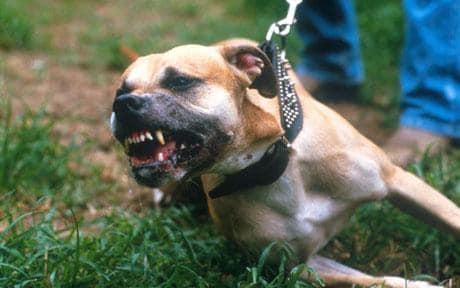 Drama in Amsterdam, Staffordshire bijt hondje de kop af